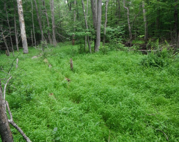 Newly-identified fungal pathogens may help control invasive grass