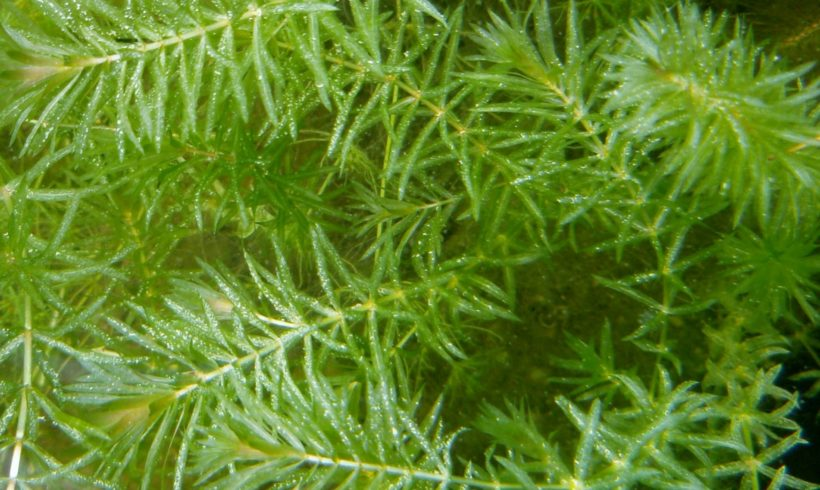 New Educational Video on Hydrilla Available