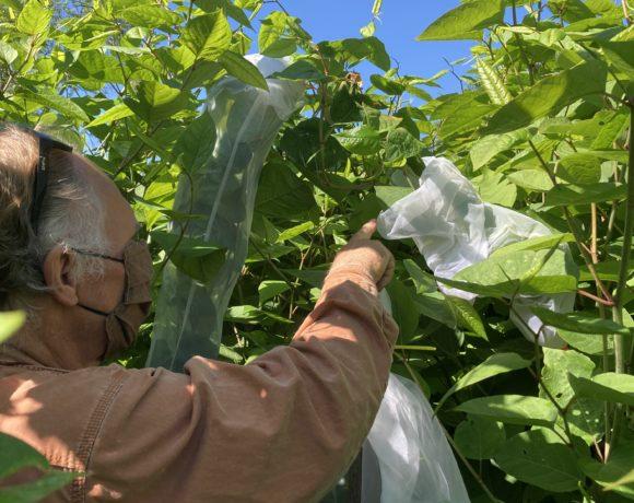 Knotweed Biocontrol Released in NYS